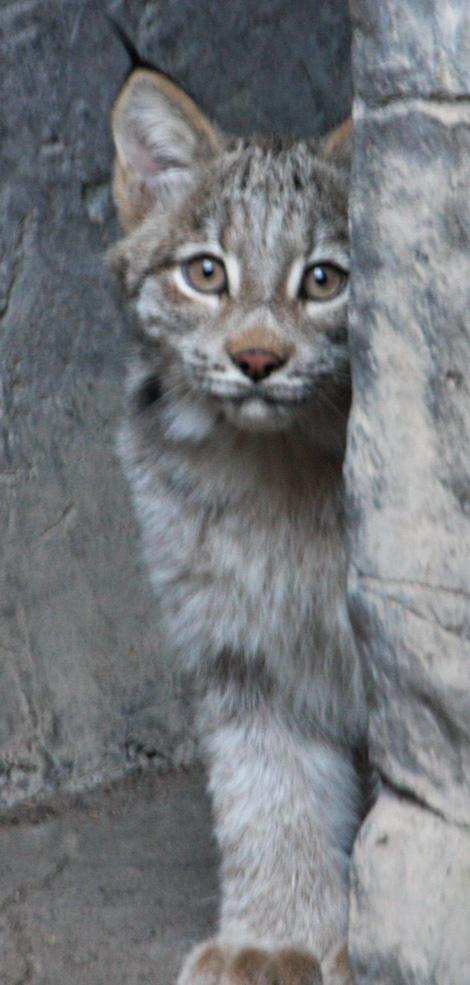 Minnesota-lynx-1