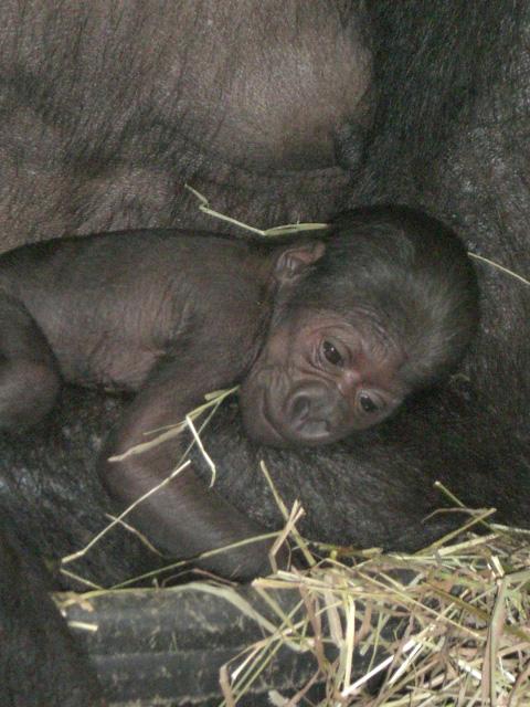Gorilla-buffalo-zoo-2