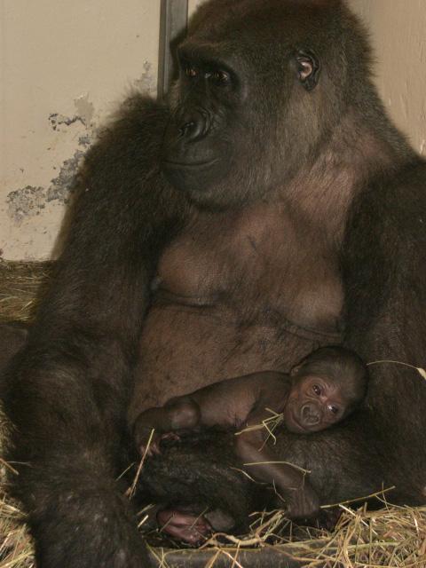 Gorilla-buffalo-zoo-1