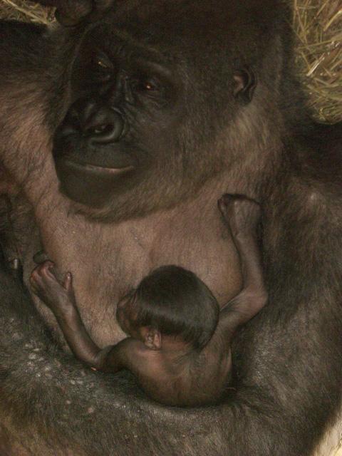 Gorilla-buffalo-zoo-3