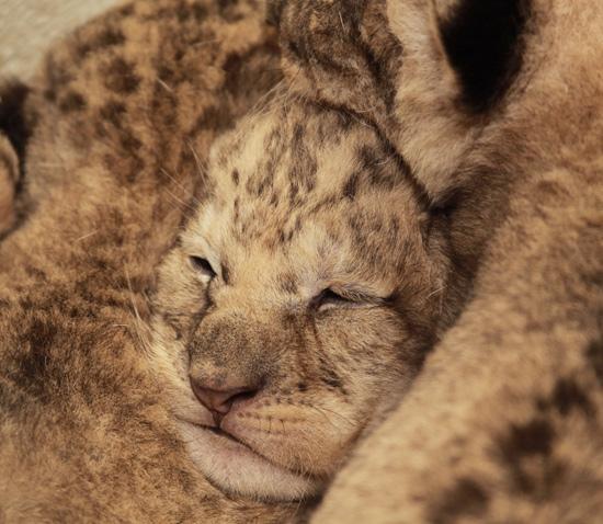 Smithsonian zoo lions 3