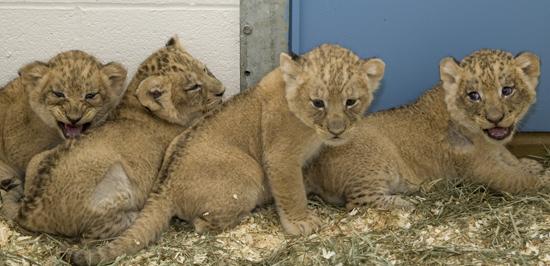 Smithsonian zoo lions 8