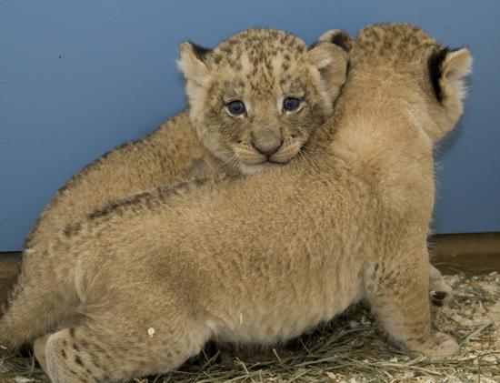Smithsonian zoo lions 6