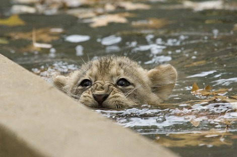 Lion cub swimming smithsonian national zoo