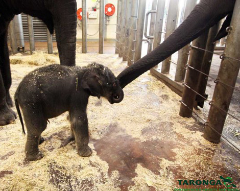 Elephant-calf-taronga-zoo-1