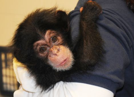 Baby nori the chimpanzee at north carolina zoo 1