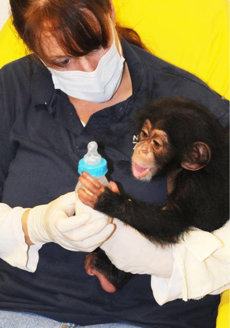 Baby nori the chimpanzee at north carolina zoo 1