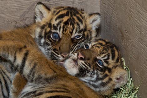 San-Diego-Zoo---Tigers