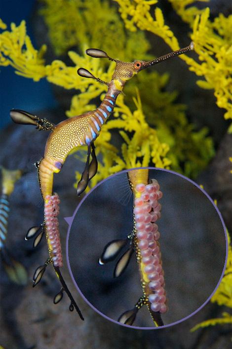 Weedy-sea-dragon-4