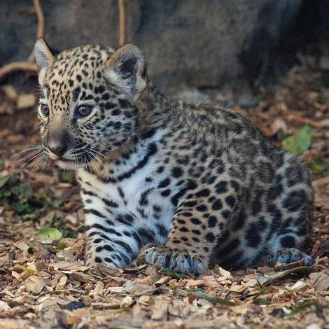 Baby-Jaguars-at-Loro-Parque-2