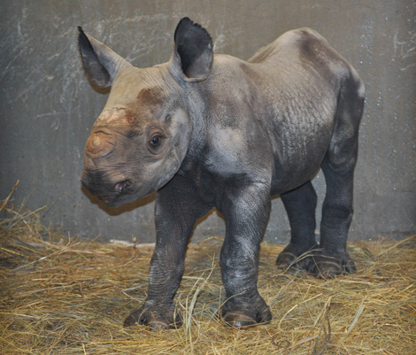GPZ-Eastern-Black-Rhino-Calf-10-13-10