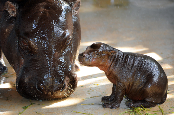 Pygmy Hippo 1 by RM