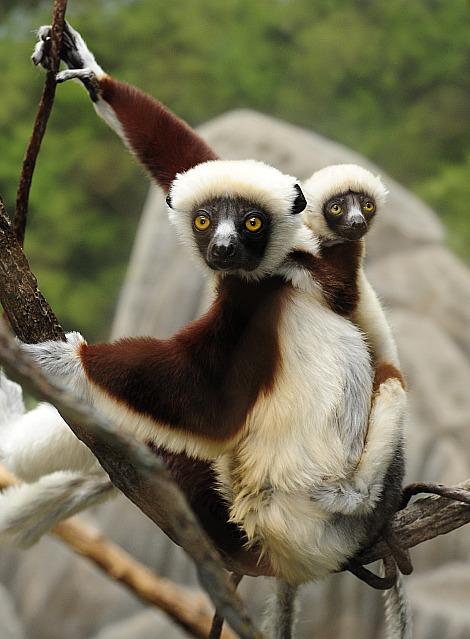 Coquerels sifaka baby bronx zoo 1
