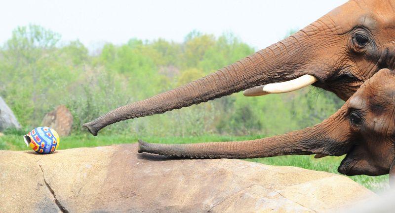 Elephant north carolina zoo egg-1 rs