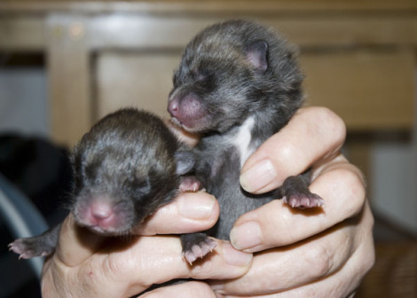 Fox cubs 1 rs