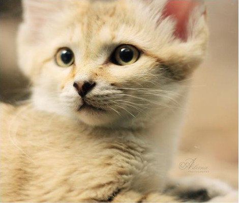 Sand cat kittens cincinnati zoo 1