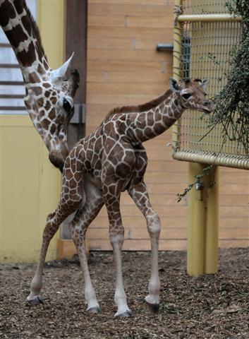 Girafje-blijdorp002 (Small)