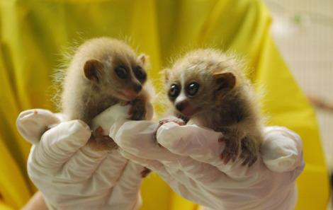 Baby pygmy slow loris twins moody gardens 1 rsa