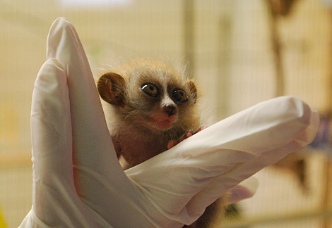 Baby pygmy slow loris twins moody gardens 3 rs