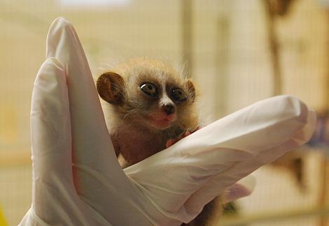 Baby pygmy slow loris twins moody gardens 3 rs