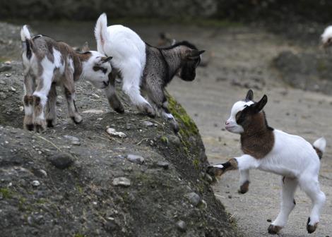 Pygmy goats zoo basel 4
