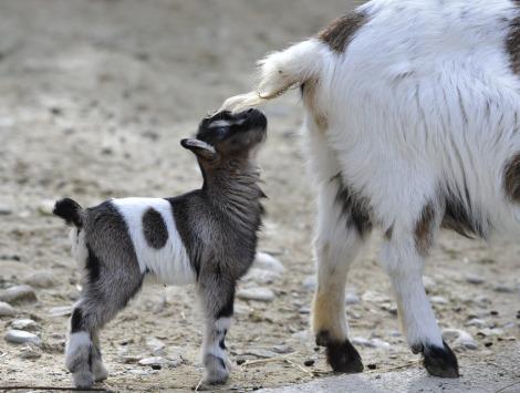 Pygmy goats zoo basel 6