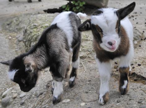 Pygmy goats zoo basel 8