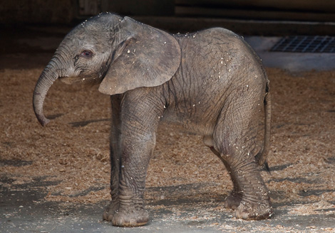 BabyElephant_01_Weba