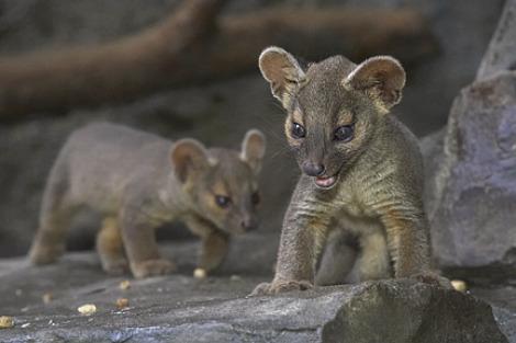 Baby fossa sd zoo 1