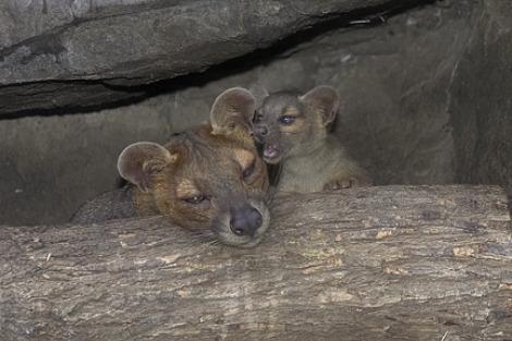 Baby fossa sd zoo 2