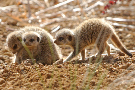 Baby meerkats at chester zoo 3