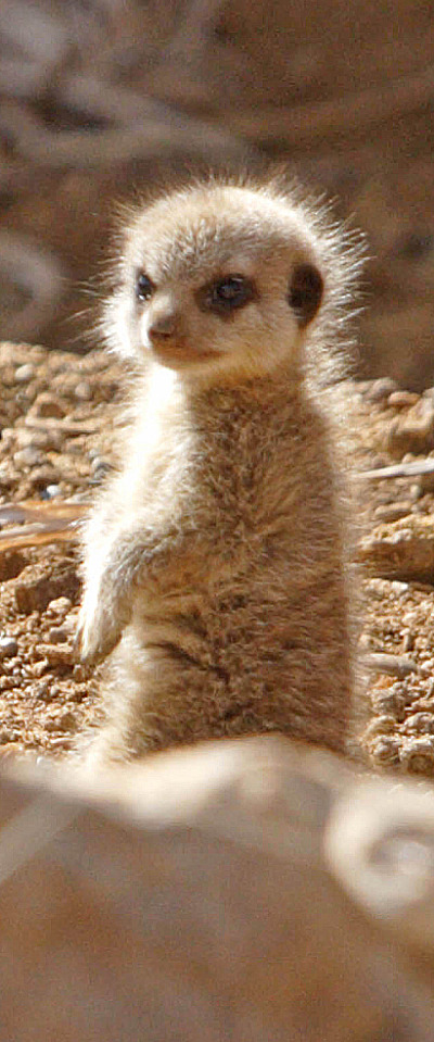 Baby meerkats at chester zoo 4