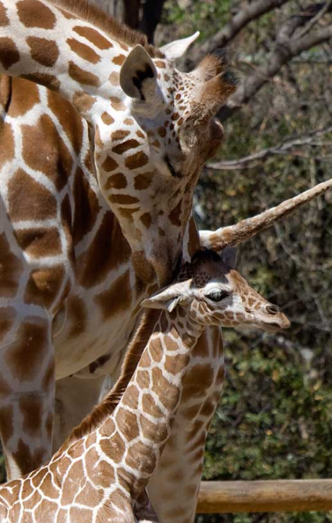 Baby giraffe calf denver zoo 3 rs2