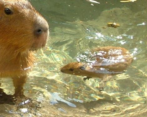 Baby capybaras akron zoo 3