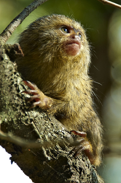 Baby marmoset mogo zoo 2 rs