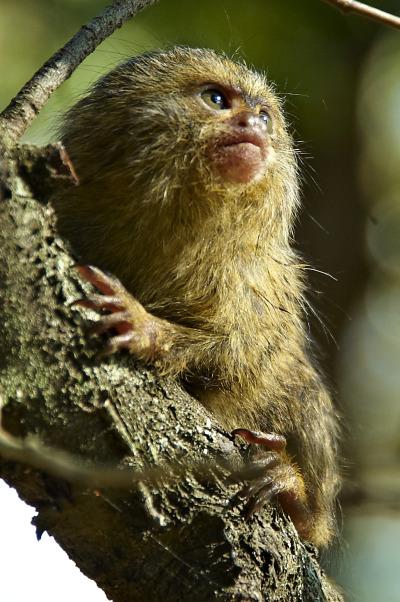 Baby marmoset mogo zoo 2 rs