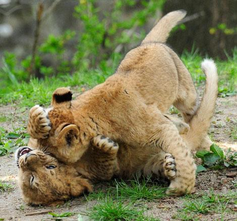 _julie-larsen-maher-3030-lion-cubs-4-15-10[5]