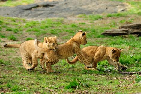 Julie-larsen-maher-4084-lion-cubs--4-21-10