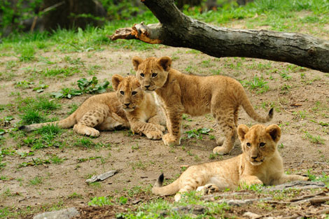 Julie-larsen-maher-4270-Lion-Cubs--4-21-10