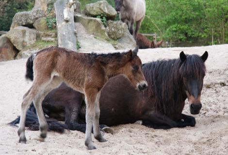 Mongolian horse foal 4