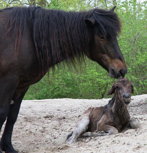 Mongolian horse foal 2