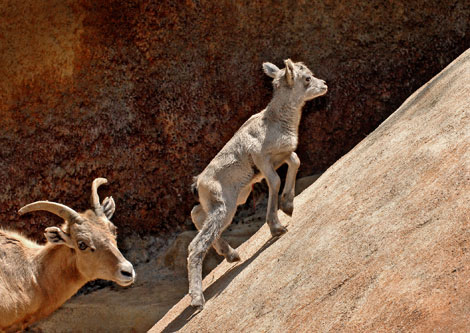 Big-Horn-Sheep-Baby-Climbs-as-Mom-looks-on-4-26-10_Tad-Motoyama-7487