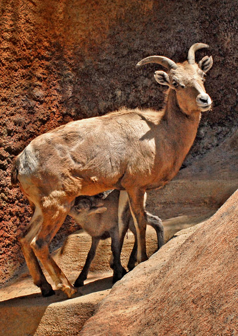 Big-Horn-Sheep-Baby-Nursing-4-26-10_Tad-Motoyama-7504