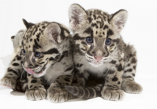 Clouded Leopard Cubs at the National Zoo