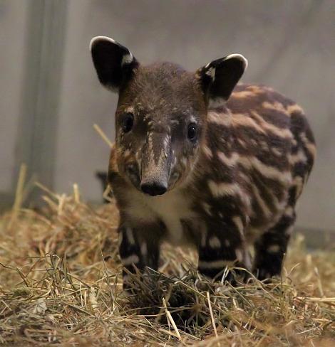 Baby bairds tapir calf nashville zoo 1