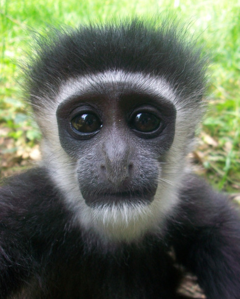 Baby colobus monkey mesker park zoo 4