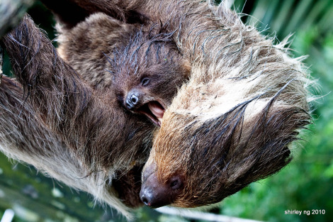 Baby sloth singapore zoo 2 rs