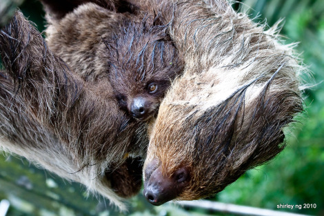 Baby sloth singapore zoo 1b
