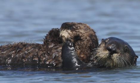 Sea otter pup and mom monterey bay aquarium 3 rs