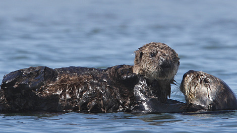 Sea otter pup and mom monterey bay aquarium 2 rs